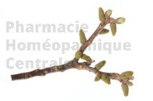 Juglans regia bourgeon - noyer d'europe